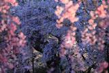 榴岡公園のシダレザクラ
