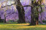 ぶっとい幹の榴岡公園の枝垂れ桜