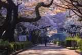榴岡公園のソメイヨシノ