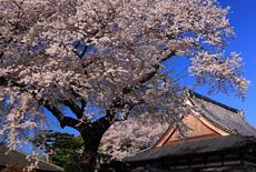 道仁寺の桜