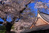 道仁寺の桜と本堂