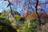 瑞鳳寺の江戸彼岸桜