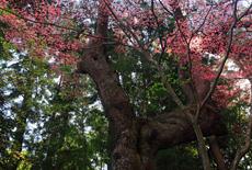 瑞鳳寺のヒガンザクラ