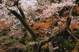 文殊菩薩堂の桜