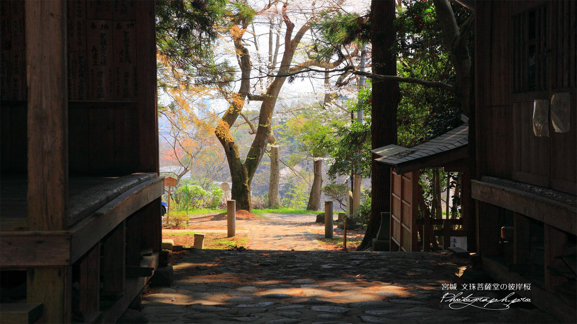 文殊菩薩堂のヒガンザクラ