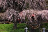 午前中の貴船神社の枝垂桜