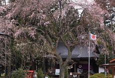 秋保神社のシダレザクラ