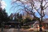 秋保神社の開運桜
