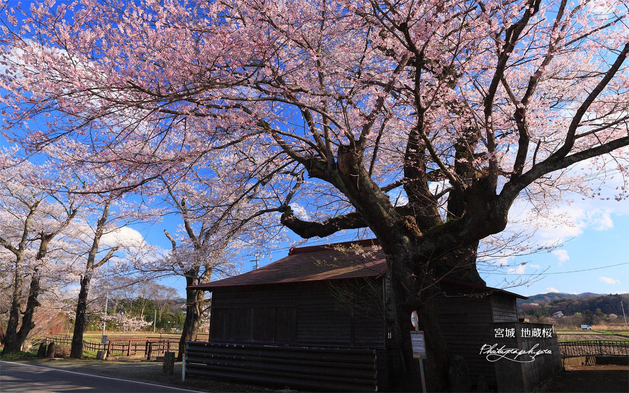 地蔵桜 壁紙