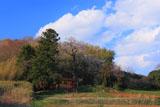 古館跡の金剛桜