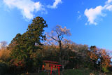 青空に映える金剛桜