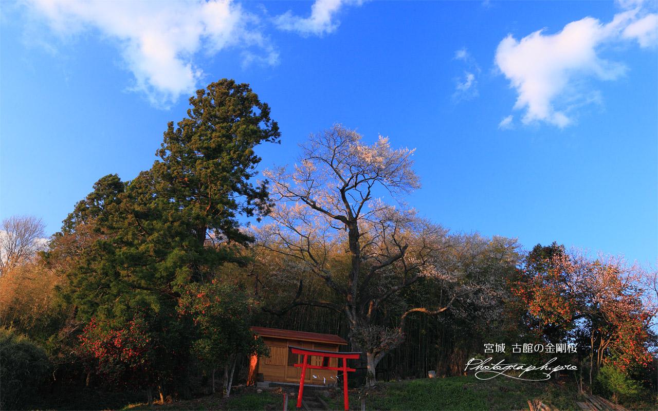 青空に映える金剛桜 壁紙  青空に映える金剛桜の壁紙はWXGAディスプレイ(1280x800