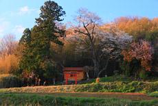 古館の金剛桜