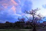 根返しの桜と夕焼け雲