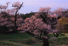 根返しの桜