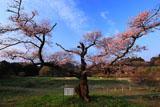 独特の枝振りの根返しの桜