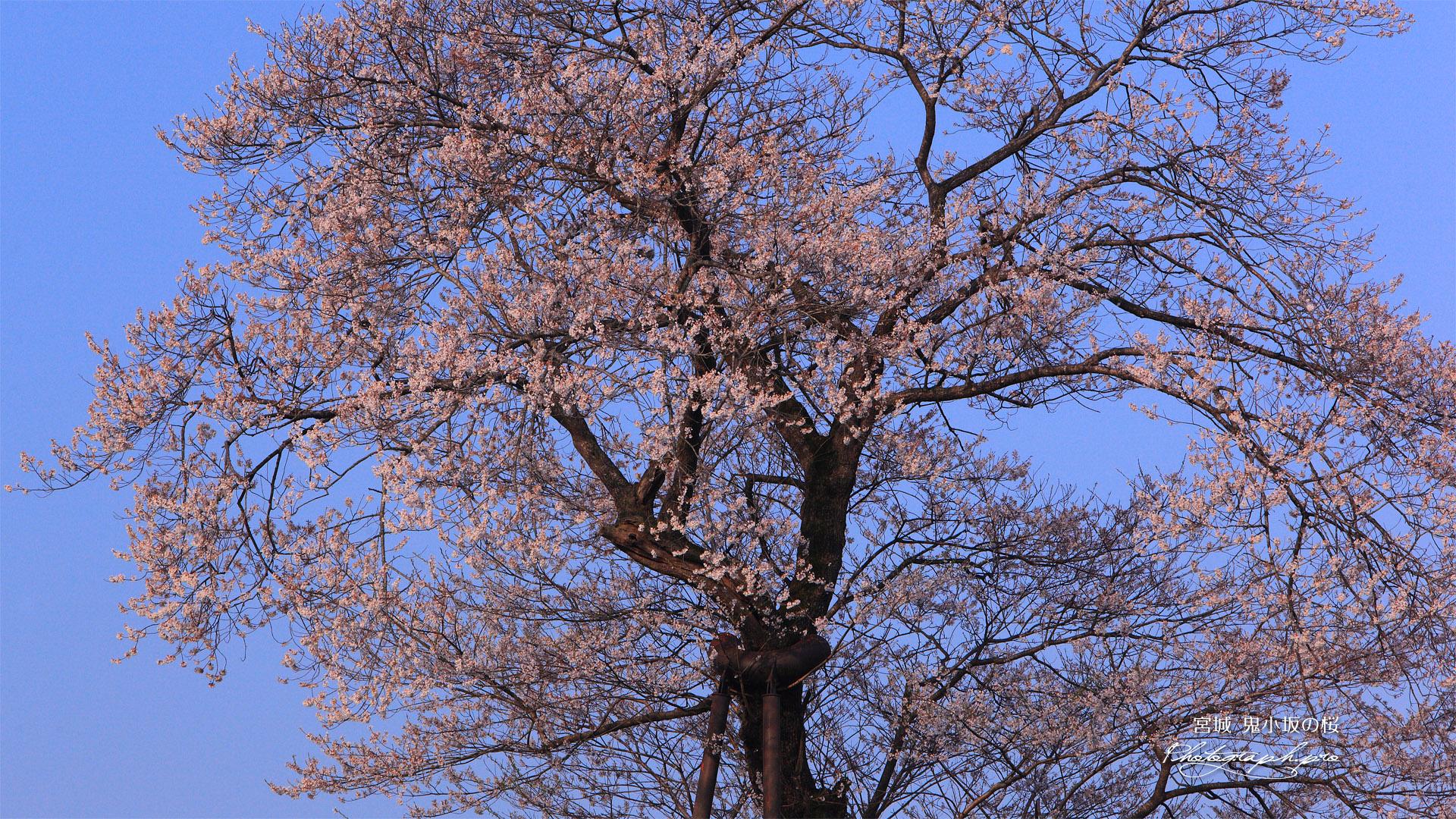 鬼小坂の桜
