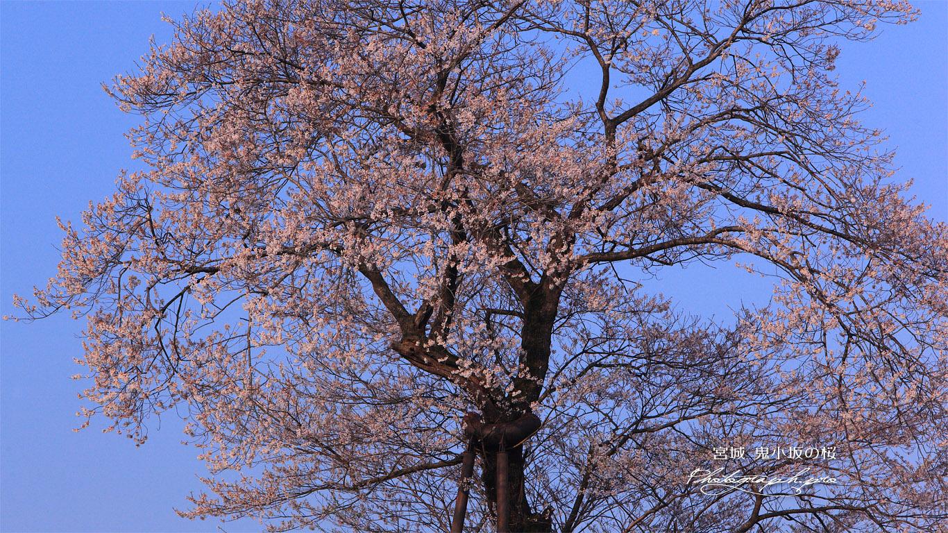 鬼小坂の桜 壁紙