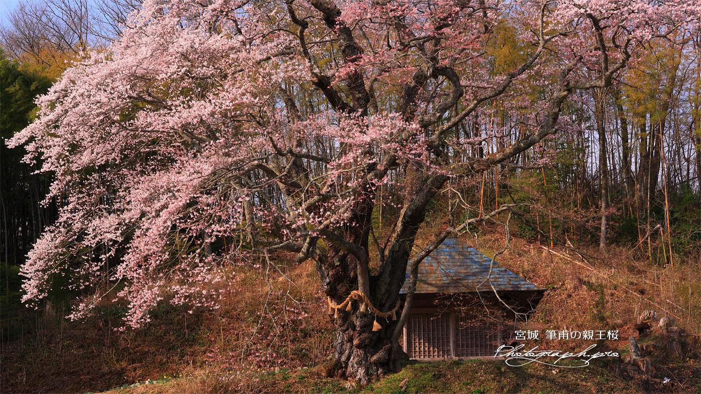 筆甫の親王桜 壁紙