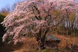 筆甫の親王桜