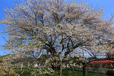 椎木の種蒔ザクラ