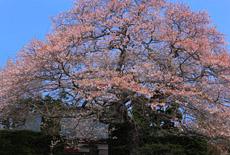 浄圓寺の桜