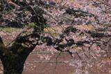 浄円寺の桜