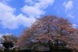 浄圓寺のサクラ