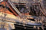 京都六角堂 御幸桜越しの本堂