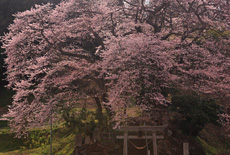 新殿神社の岩桜