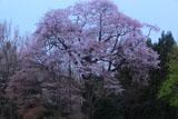 建中寺の山桜