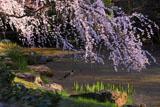 京都御苑 近衛邸のしだれ桜と鴨