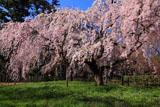 京都御苑 近衛邸の枝垂れ桜