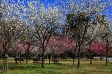 京都御苑の桃林