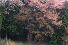 上郷下平の山桜