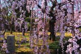 京都御苑 平安の庭の枝垂れ桜