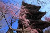 真如堂の枝垂桜と三重塔