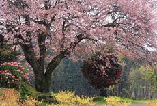 梓公民館の山桜