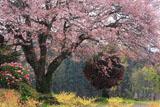 花吹雪の梓公民館の山桜