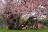西側の梓公民館の山桜