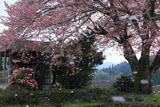 花曇りの梓公民館の山桜