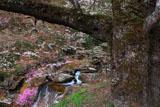 膝立の天王桜と渓流