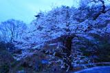 路傍に立つ膝立の天王桜