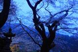 石灯籠と膝立の天王桜