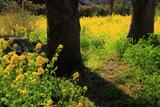 霊鑑寺 菜の花畑