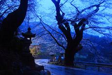 膝立の天王桜