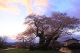 中曽根の江戸彼岸桜