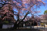 醍醐寺 三宝院の枝垂れ桜