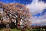 中曽根の権現桜