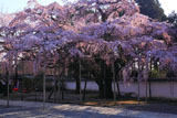 醍醐寺 土牛の桜